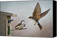 Swallow Canvas Prints - Swallows At Birdhouse Canvas Print by Betty Wiley