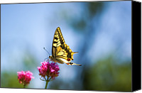 Provence Canvas Prints - Swallowtail Butterfly On Pink Flower Canvas Print by Alexandre Fundone
