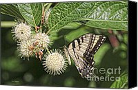 Monarch  Canvas Prints - Swallowtail With Flowers Canvas Print by Deborah Benoit