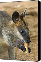 Wallaby Canvas Prints - Swamp Wallaby Canvas Print by Tony Camacho