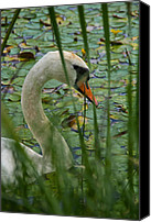 Cygnus Olor Canvas Prints - Swan Naturally Canvas Print by Odd Jeppesen