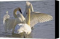 Color Stretching Canvas Prints - Swan Spreading And Stretching Wings Canvas Print by Robert Postma