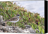 Killdeer Canvas Prints - Sweet Little Killdeer Canvas Print by Rosalie Scanlon