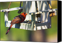 Red Cardinal Canvas Prints - Swingin Cardinal Canvas Print by Bill Tiepelman