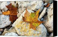 Creek Bed Canvas Prints - Sycamore Leaves On Creek Bed Stones. Canvas Print by Mark Weaver