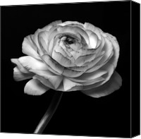 Closeup Mixed Media Canvas Prints - Symphony - Black And White Roses Flowers Macro Fine Art Photography Canvas Print by Artecco Fine Art Photography - Photograph by Nadja Drieling