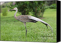 Sandhill Crane Canvas Prints - Ta Da Canvas Print by Carol Groenen