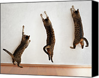 Domestic Animals Photography Canvas Prints - Tabby Cat Jumping Canvas Print by Hulya Ozkok