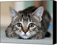 Indoors Canvas Prints - Tabby Kitten Canvas Print by Jody Trappe Photography