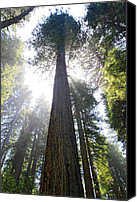 Tall Trees Canvas Prints - Tall Trees of Redwood National Park Canvas Print by Pierre Leclerc