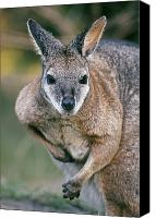 Wallaby Canvas Prints - Tamma Wallaby Canvas Print by Greg Vaughn - Printscapes