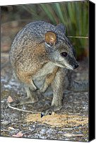 Wallaby Canvas Prints - Tammar Wallaby Canvas Print by Tony Camacho