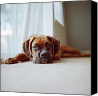 Boxer Canvas Prints - Tan Boxer Puppy Laying On Carpet Near Window Canvas Print by Diyosa Carter