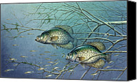 Cover Canvas Prints - Tangled Cover Crappie II Canvas Print by JQ Licensing