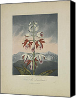 Botanical Engraving Canvas Prints - Tankervilles Limodorum Canvas Print by Robert John Thornton