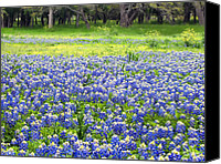 Texas Bluebonnets Canvas Prints - Texas Blues Canvas Print by Bill Morgenstern