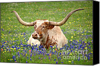 Award Winning Canvas Prints - Texas Longhorn in Bluebonnets Canvas Print by Jon Holiday