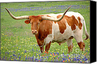 Award Winning Canvas Prints - Texas Longhorn Standing in Bluebonnets Canvas Print by Jon Holiday