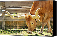 Bulls Photo Canvas Prints - Texas Longhorns - A genetic gold mine Canvas Print by Christine Till