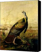 Turkey Painting Canvas Prints - The American Wild Turkey Cock Canvas Print by John James Audubon