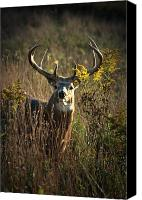 Whitetail Buck Canvas Prints - The Boss Canvas Print by Emily Stauring