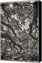 Bench Canvas Prints - The Century Oak 2 Canvas Print by Scott Norris