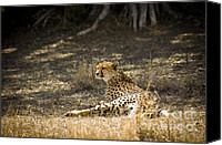 Kenya Canvas Prints - The Cheetah Wakes Up Canvas Print by Darcy Michaelchuk