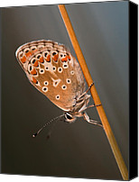 Eavning Canvas Prints - The Common Blue Canvas Print by Rikard  Olsson