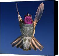 Male Hummingbird Canvas Prints - The Conductor of Hummer Air Orchestra Canvas Print by William Lee