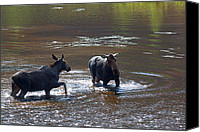 Moose In Water Canvas Prints - The Confrontation Canvas Print by Jim Garrison