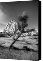 Joshua Canvas Prints - The Crooked Joshua Tree Canvas Print by Peter Tellone