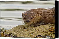 Otter Photo Canvas Prints - The Curious River Otter Canvas Print by Tim Grams