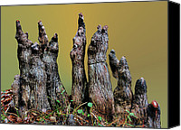 Cypress Knees Canvas Prints - The Cypress Knees Chorus Canvas Print by Kristin Elmquist