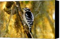 Downy Canvas Prints - The Downy Woodpecker Canvas Print by David Lee Thompson