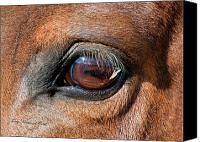 Paint Horse Canvas Prints - The Equine Eye Canvas Print by Terry Kirkland Cook