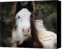Filly Canvas Prints - The Fuzziest Gypsy Foal Canvas Print by Terry Kirkland Cook