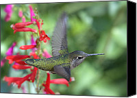 Annas Hummingbird Canvas Prints - The Get Away Canvas Print by Saija  Lehtonen