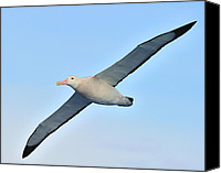Wandering Canvas Prints - The Greatest Seabird Canvas Print by Tony Beck