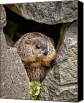 Groundhog Canvas Prints - The Groundhog Canvas Print by Bob Orsillo