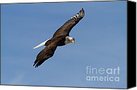 Bald Eagle Canvas Prints - The Hunter Canvas Print by Reflective Moments  Photography and Digital Art Images