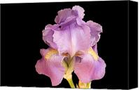 Pinkish Canvas Prints - The Iris In All Her Glory Canvas Print by Andee Photography