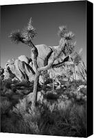 Joshua Trees Canvas Prints - The Joshua Tree Canvas Print by Peter Tellone