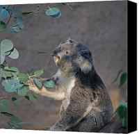 Koala Canvas Prints - The Koala Canvas Print by Ernie Echols