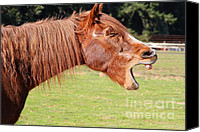 Point Reyes National Seashore Canvas Prints - The Laughing Horse of Point Reyes California . 7D9776 Canvas Print by Wingsdomain Art and Photography