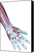 Illustration Photo Canvas Prints - The Ligaments Of The Hand Canvas Print by MedicalRF.com