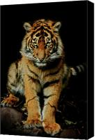 Cub Canvas Prints - The Look Canvas Print by Animus Photography