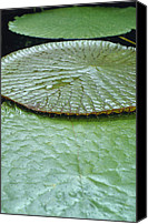 Royal Botanical Gardens Canvas Prints - The Massive Santa Cruz Waterlily Leaves Canvas Print by Jason Edwards