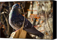 Dove Canvas Prints - The Noble Pigeon Canvas Print by Bob Orsillo