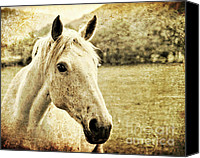 Pony Canvas Prints - The Old Grey Mare Canvas Print by Meirion Matthias