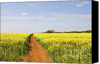 Rapeseed Canvas Prints - The Path to Bosworth Field Canvas Print by John Edwards